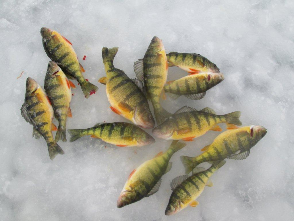 how to catch perch in lake simcoe